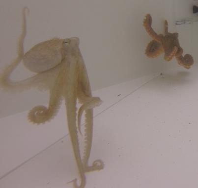 Octopus rubescens