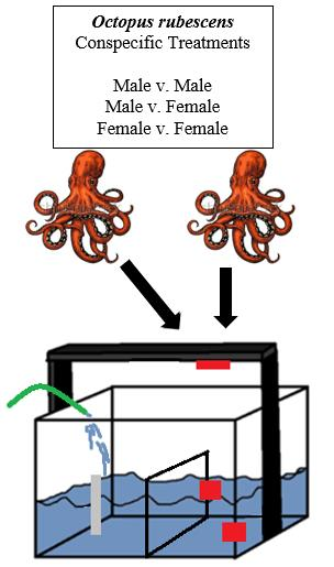 Each octopus was allowed to interact with all other octopuses of the same and opposite sex (Figure 4).
